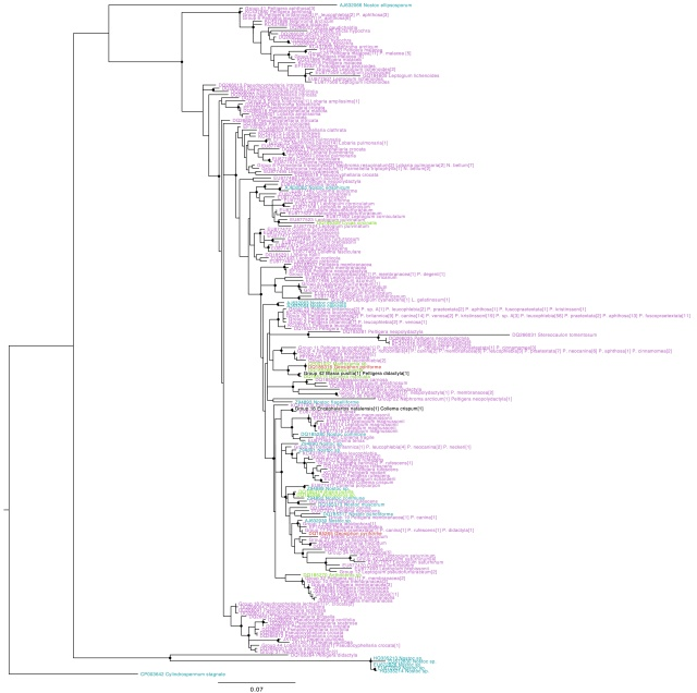Nostoc rbcX phylogeny, coloured by type of association (purple: lichen photobionts, green: plant symbionts, blue: free-living, red: fungal endosymbiont). Names in black indicate genotypes found in more than one group. Circles on internal nodes indicate aLRT ≥0.9.