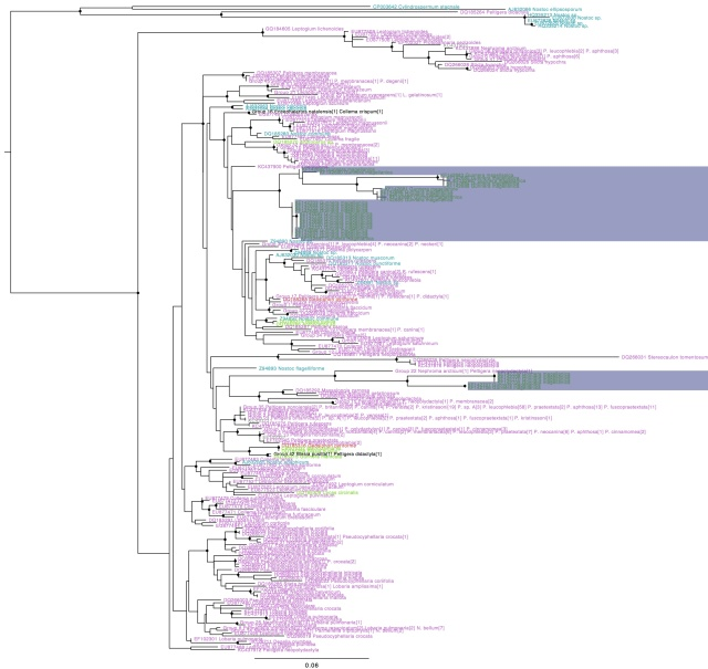 Nostoc rbcX phylogeny with Gunnera magellanica symbiont hilighted, coloured by type of association (purple: lichen photobionts, green: plant symbionts, blue: free-living, red: fungal endosymbiont). Names in black indicate genotypes found in more than one group. Circles on internal nodes indicate aLRT ≥0.9.