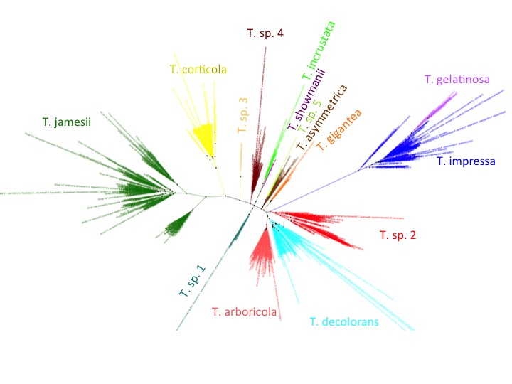 Trebouxia ITS phylogeny. Major clades are differentilly coloured and named according to authentic strains