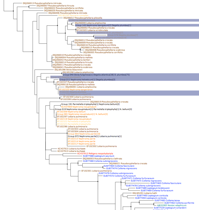 Nostoc rbcX phylogeny, zoomed in on